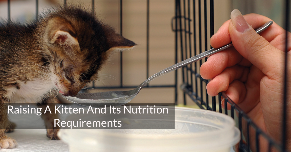 Raising A Kitten And Its Nutrition Requirements