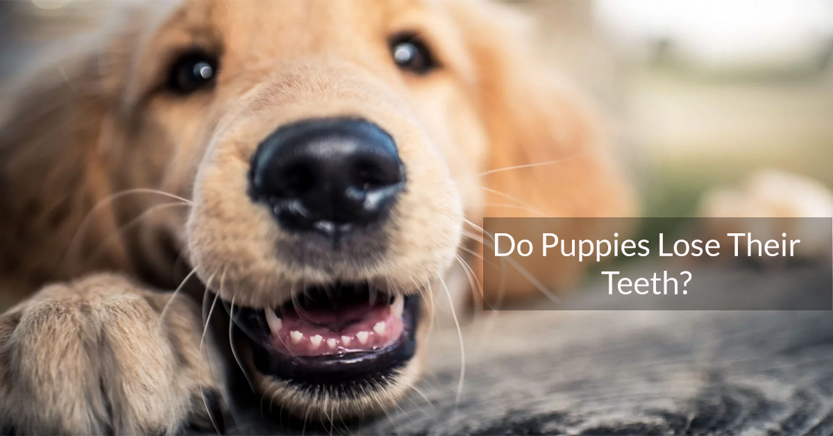 Do Puppies Lose Their Teeth