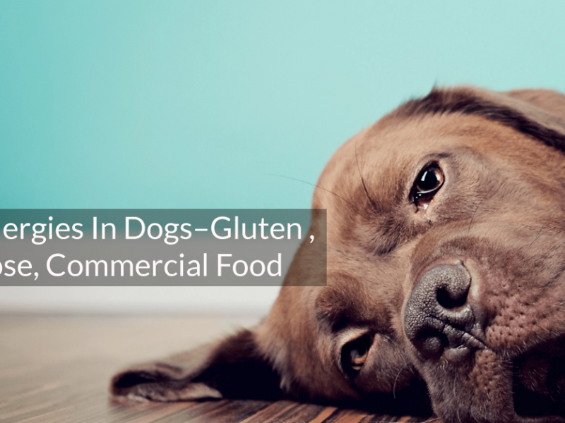 Food allergies in dogs– gluten , lactose, commercial food