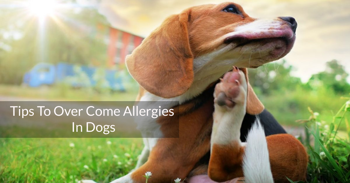 Tips To Over Come Allergies In Dogs