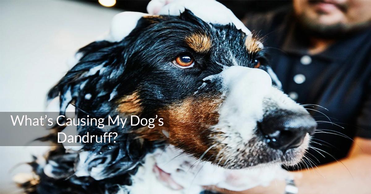 What's Causing My Dog's Dandruff