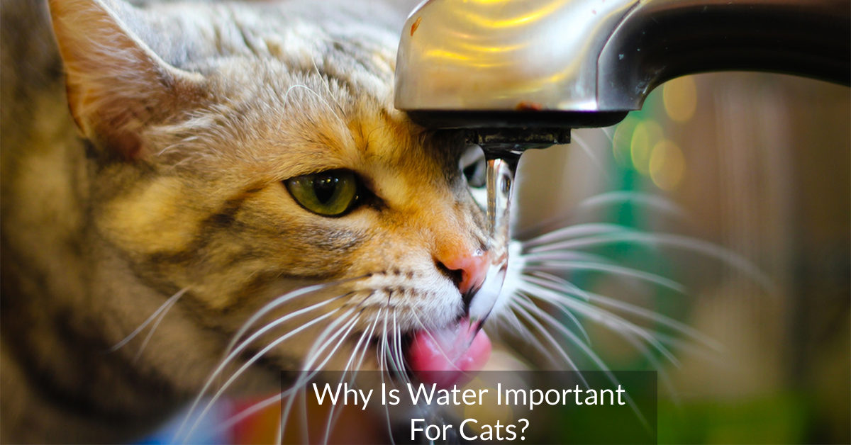 Why Is Water Important For Cats