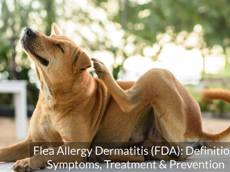Flea Allergy Dermatitis (FDA): Definition, Symptoms, Treatment & Prevention