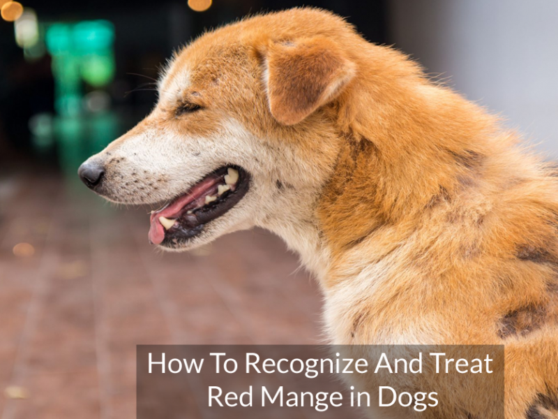 How To Recognize And Treat Red Mange in Dogs